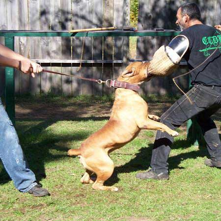 dog in training to protect owners
