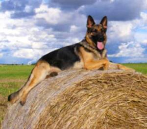 Jax German Shepherd Protection Dog for Sale