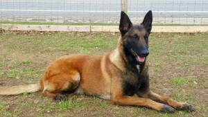 Pharaoh - Belgian Malinois - Family Protection Dog