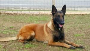 Pharaoh - Belgian Malinois - Family Protection Dog