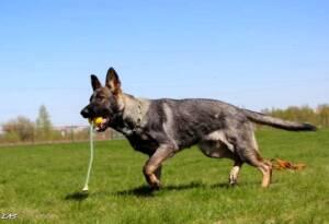 Apollo - A Happy Protection Dog